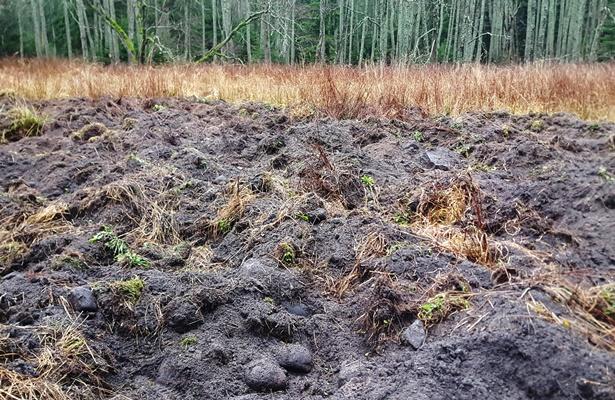 Järvsooga piirneval niidul on metssead eriti jõudsalt toimetanud - pinnasekuhilad on lausa meetrised.